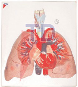 heart with lung and larynx