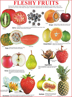 FLESHY FRUITS